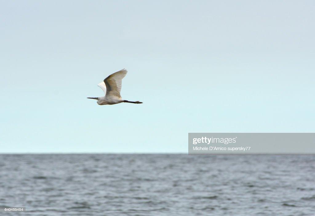 Little Egret flying : Stock Photo