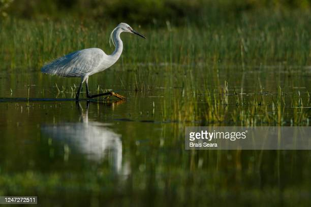 little egret (egretta garzetta) on marsh. - nature reserve stock pictures, royalty-free photos & images