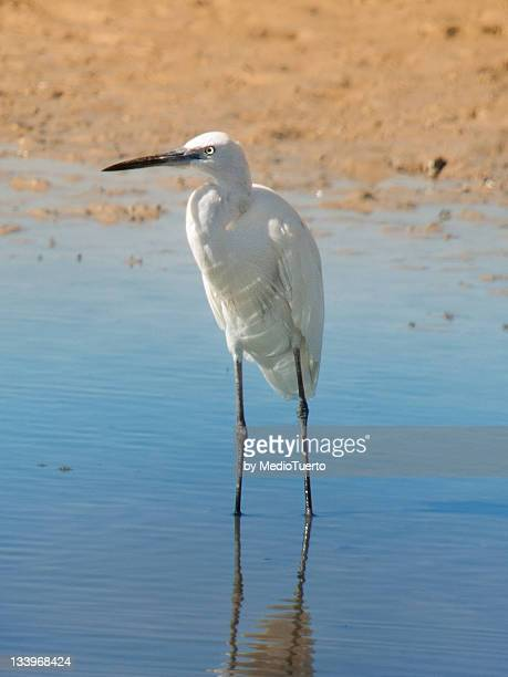 little egret - donana national park stock photos and pictures