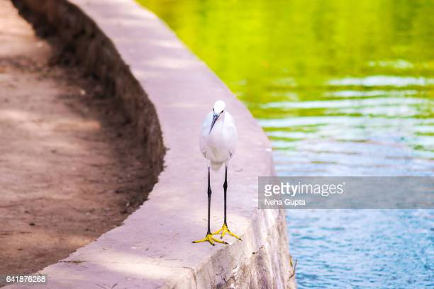 little egret - neha gupta stock pictures, royalty-free photos & images