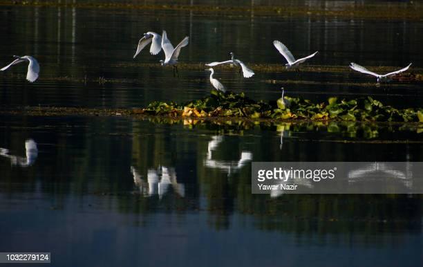 Little egrets fly in Dal lake on September 12 2018 in Srinagar the summer capital of Indian administered Kashmir India Kashmir the Muslim majority...