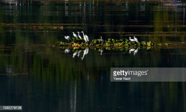 Little egrets rest on water lilies on the in Dal lake on September 12 2018 in Srinagar the summer capital of Indian administered Kashmir India...