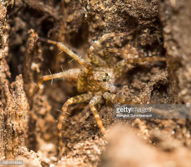 little european lycosa spider or wolf spider - big bad wolf photos et images de collection