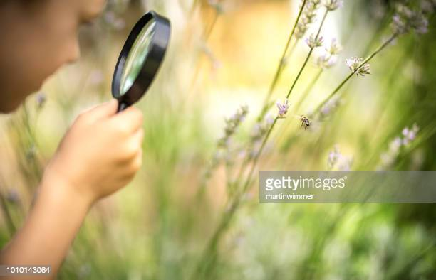 little explorer observes a honeybee through a magnifying glass - insetto foto e immagini stock
