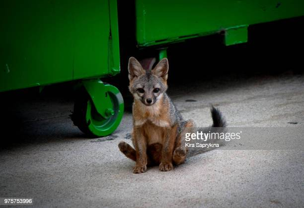 little fb fox - gray fox stock photos and pictures