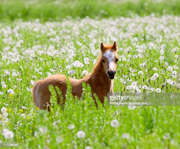 little foal - colts stock photos and pictures