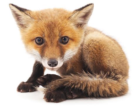 Little fox. 601939868