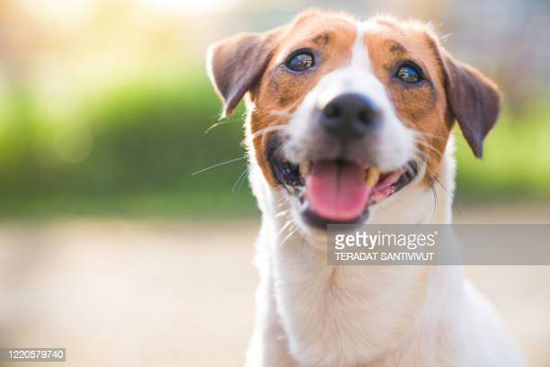 little funny jack russell terrier pets dog enjoy outside on summer pets enjoy outside on summer - jack russell terrier stock pictures, royalty-free photos & images