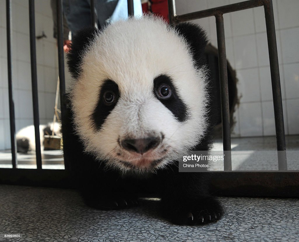 Giant Pandas At China Giant Panda Protection and Research Center In Yaan : News Photo
