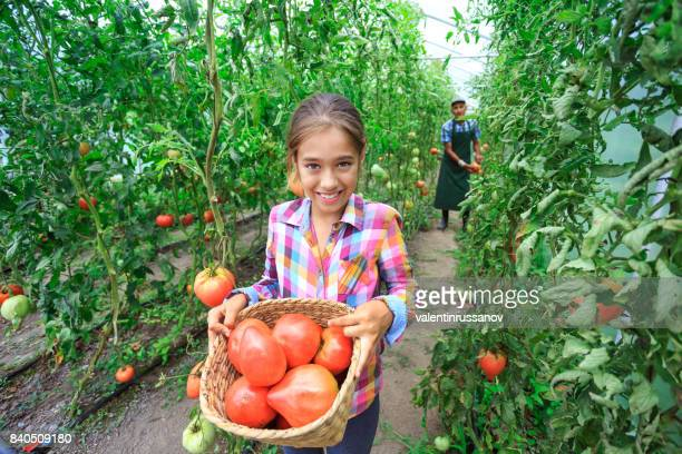 Little girl collecting tomatoes from garden