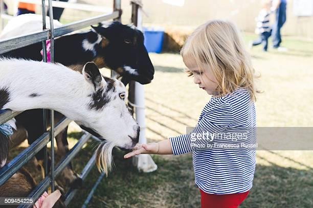Little girl feeding goat