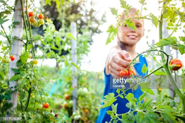Little girl harvesting cherry tomato