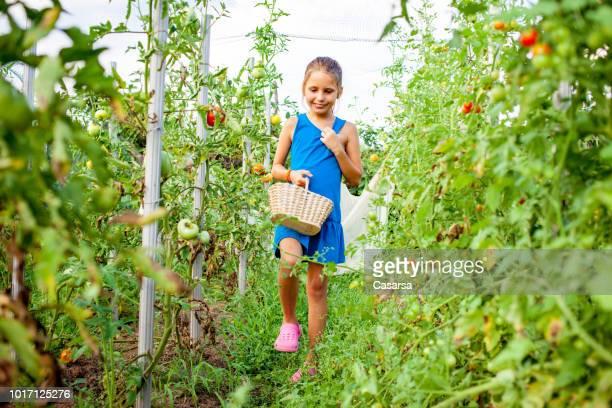 Little girl harvesting cherry tomato under protective netting