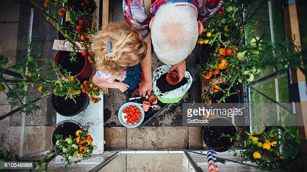 little girl helping grandad with the gardening - small stock pictures, royalty-free photos & images