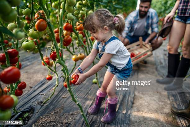 a little girl helps her parents harvest tomatoes - garden harvest stock pictures, royalty-free photos & images