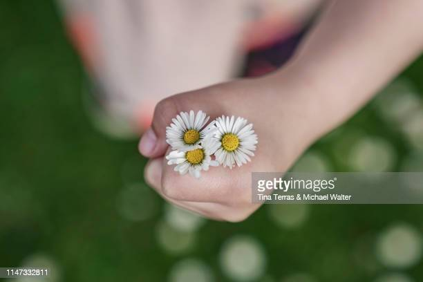 little girl holding daisy. mother's day. - muttertag blumen stock-fotos und bilder