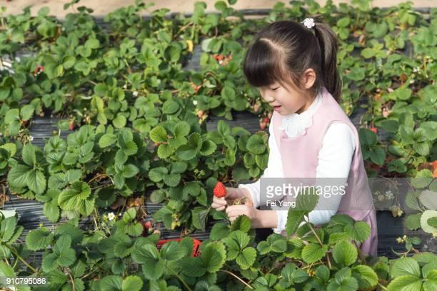 Little girl is picking strawberries