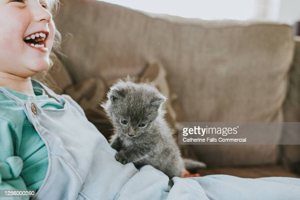 little girl laughing as grey kitten sits on top of her. - pets stock pictures, royalty-free photos & images