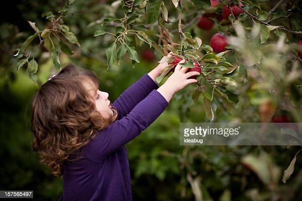 Little Girl Picking Fresh Apples from Tree in Orchard