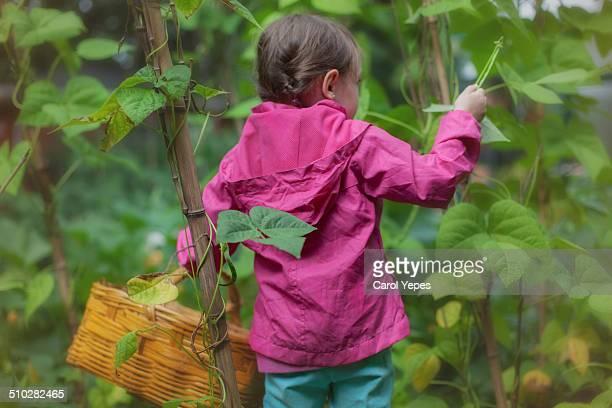 Little girl picking some green beans