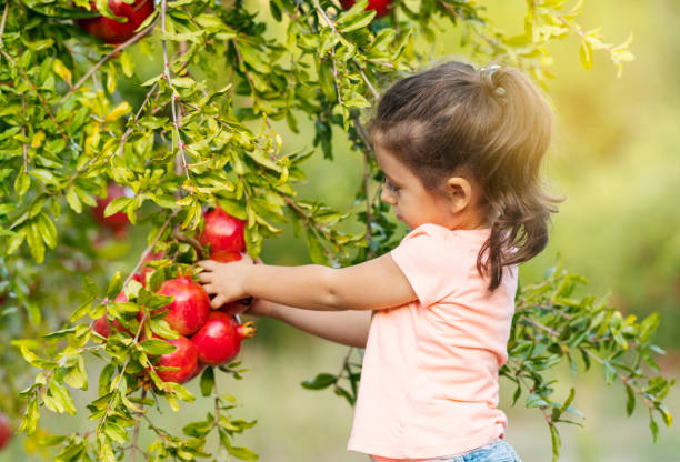 little girl picking up pomegranates - pomegranate tree stock photos and pictures