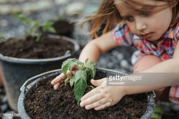 Little girl planting tomato plant
