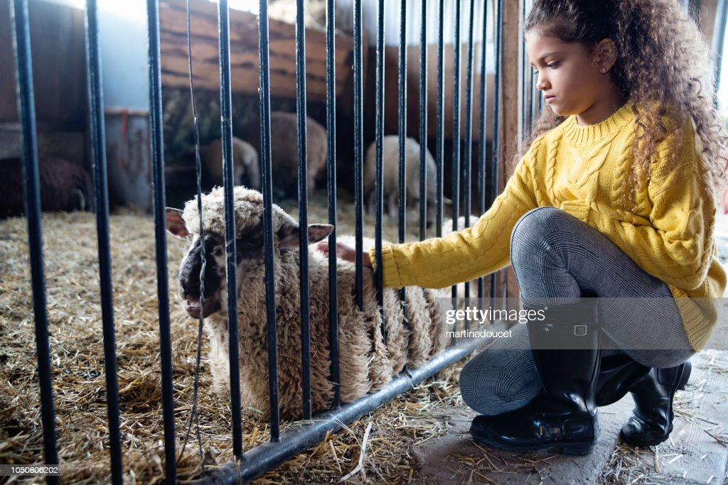 Little girl playing with a sheep in a barn on a farm. : Stock Photo