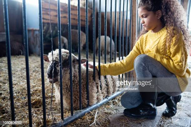 Little girl playing with a sheep in a barn on a farm.