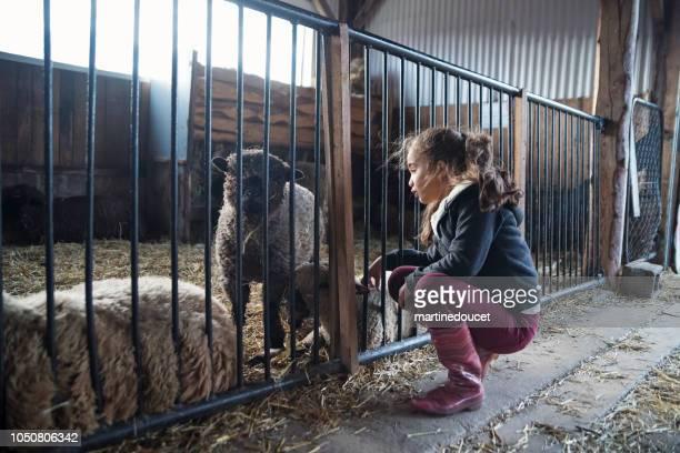 """menina brincando com uma ovelha em um celeiro em uma fazenda. - """"martine doucet"""" or martinedoucet - fotografias e filmes do acervo"""