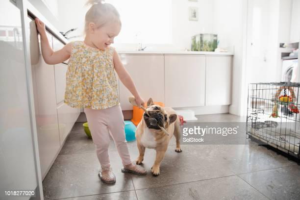 little girl playing with pet french bulldog - bulldog francese foto e immagini stock