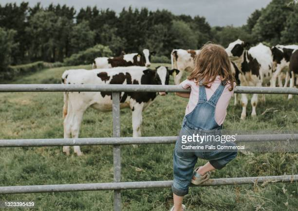 little girl stands on a metal gate and looks at calves - childhood stock pictures, royalty-free photos & images