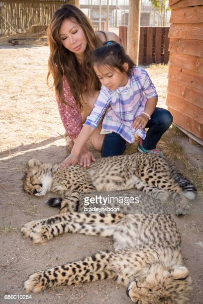 little girl strokes a napping cheetah cub - wildlife reserve stock pictures, royalty-free photos & images