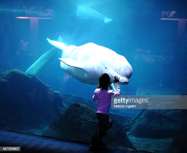 Little girl up close with a Beluga Whale during the Percy Jackson Sea Of Monsters DVD Release Party Project Linus' National Make A Blanket Day at...