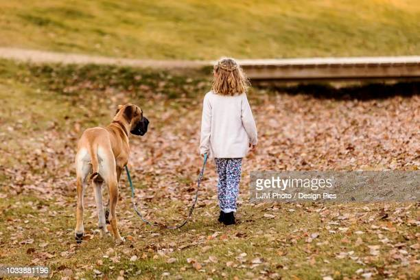 a little girl walking her great dane dog in a city dog park on a warm fall night - guide dog photos et images de collection