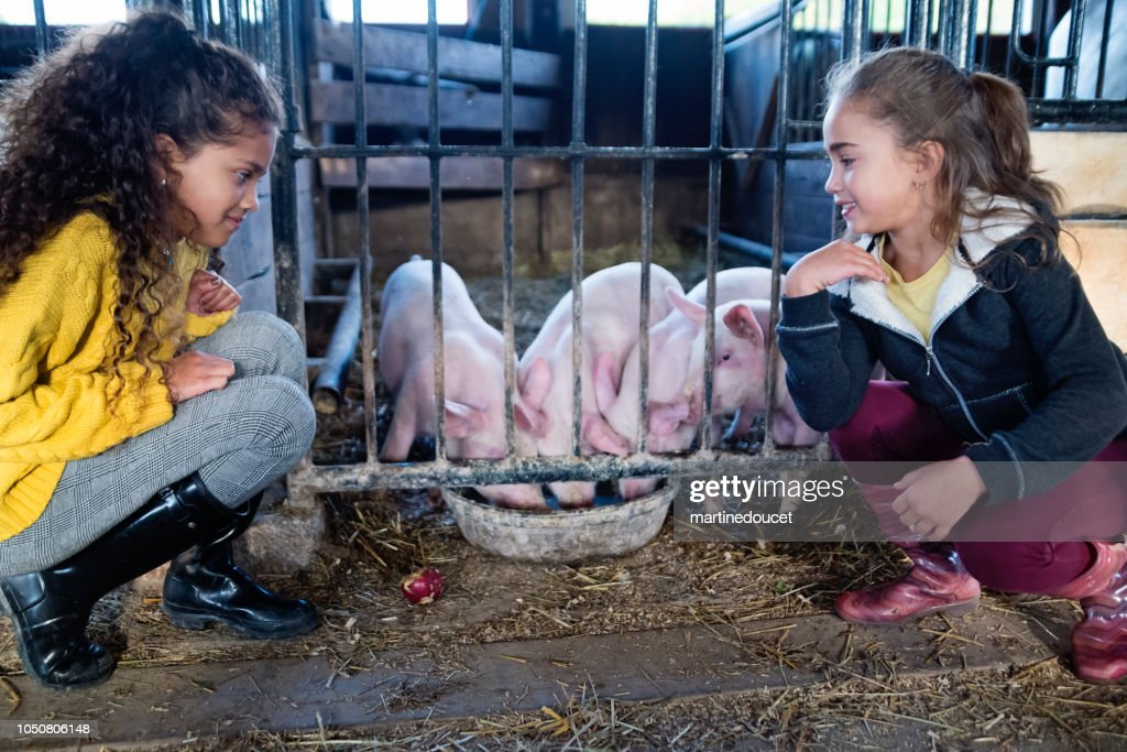 Little girls observing pigs in a barn on a farm. : Stock Photo