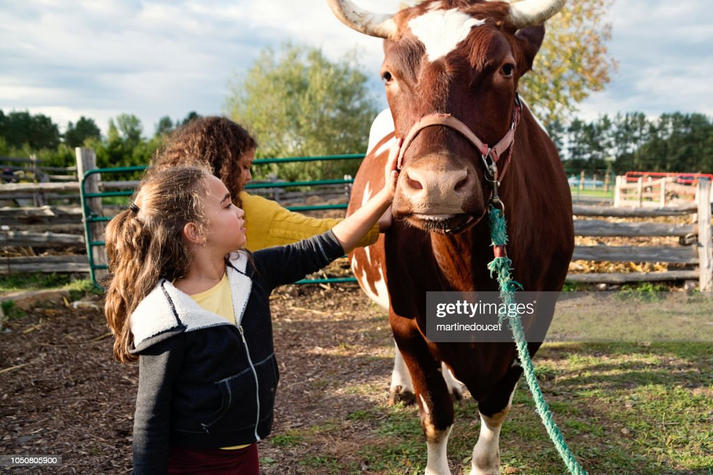 Little girls petting a bull on a farm. : Stock Photo