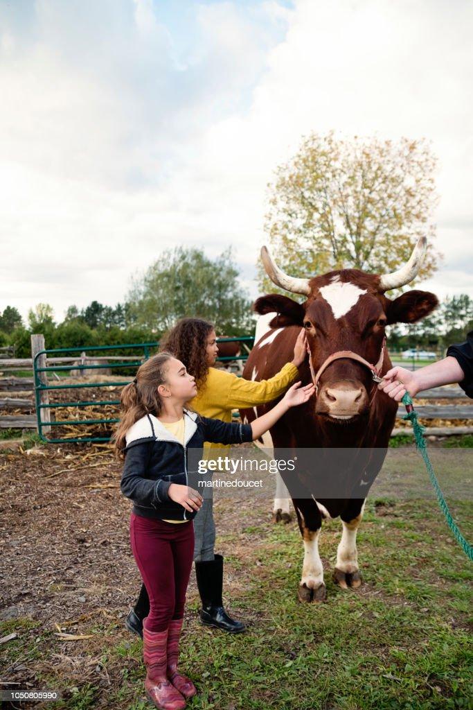 Little girls petting a bull on a farm. : Stock Photo