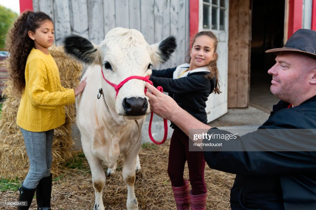 Little girls petting a young cow on a farm. : Stock Photo