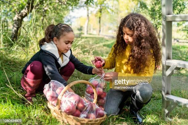 """kleine meisjes appels plukken in de boomgaard. - """"martine doucet"""" or martinedoucet stockfoto's en -beelden"""
