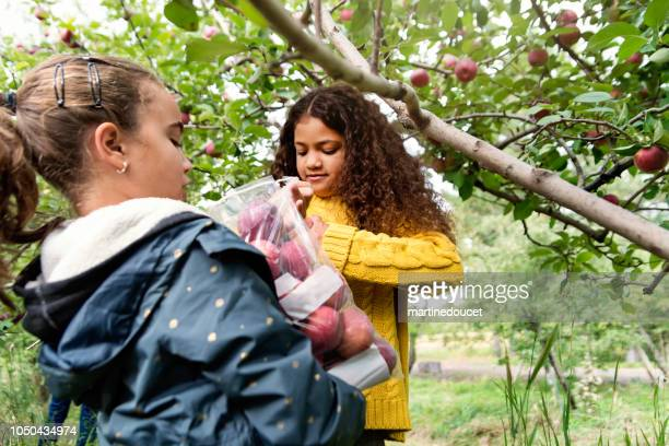 "little girls picking apples in orchard. - ""martine doucet"" or martinedoucet stock pictures, royalty-free photos & images"