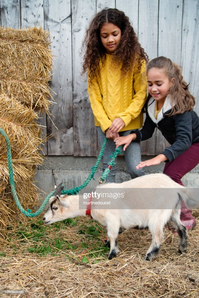 Little girls playing with a goat on a farm. : Stock Photo