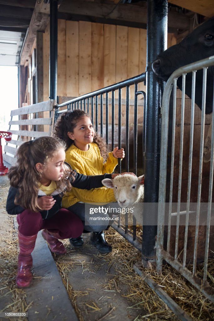 Little girls playing with a sheep in a barn on a farm. : Stock Photo