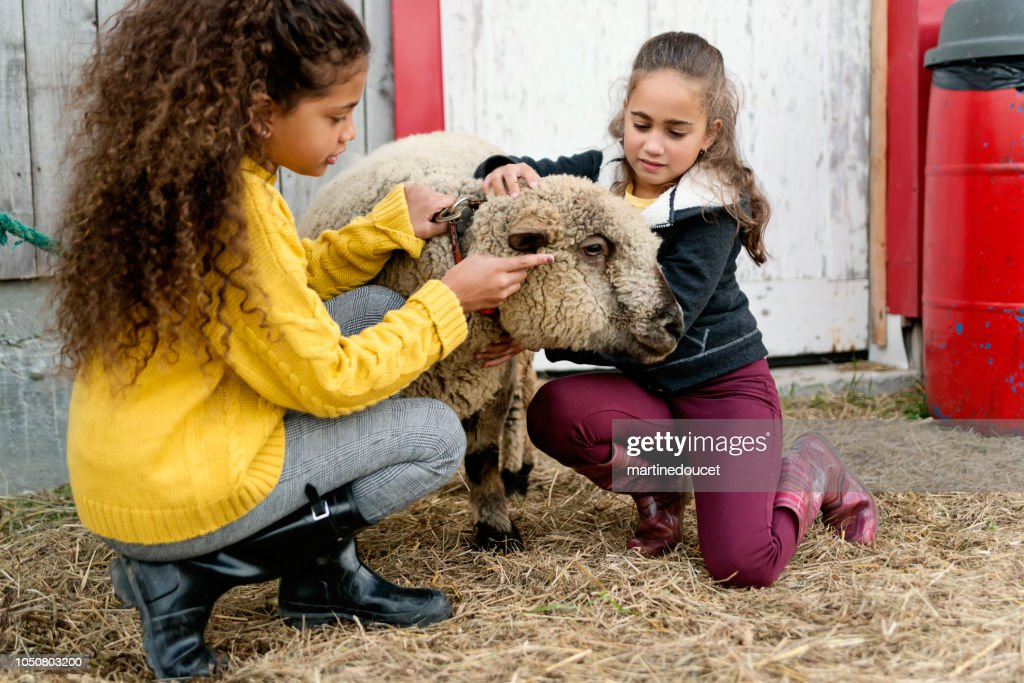 Little girls playing with a sheep on a farm. : Stock Photo