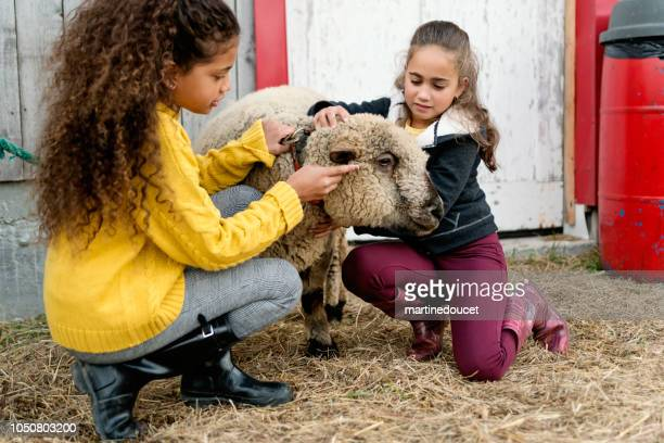 "little girls playing with a sheep on a farm. - ""martine doucet"" or martinedoucet stock pictures, royalty-free photos & images"