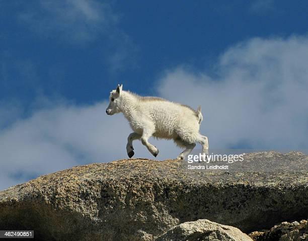 Little Goat on the Go