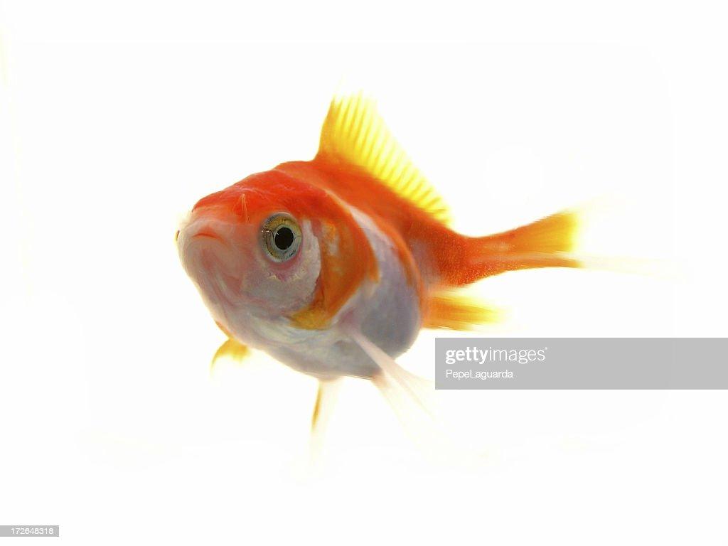 Little Goldfish | Little Goldfish Stock Photo Getty Images