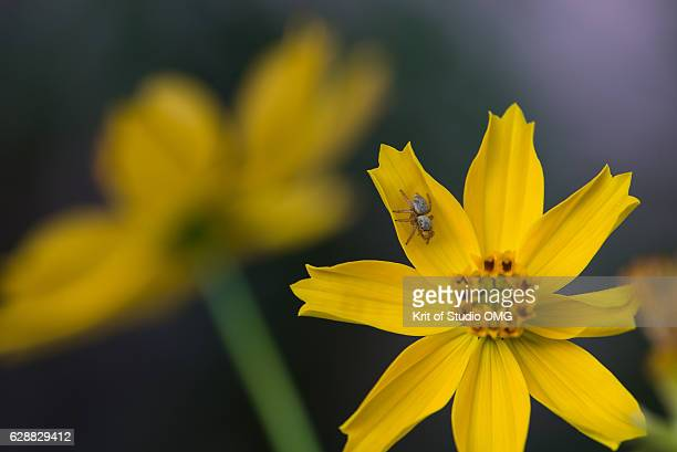 Little gray Jumping spider on yellow cosmos flower