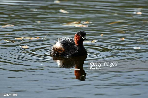 Little grebe at Morton Lochs in Tentsmuir National Nature Reserve, on May 23, 2021 in Tayport, Scotland.