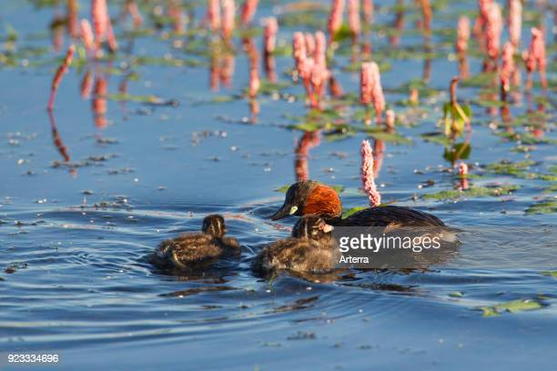 Little grebe in breeding plumage swimming in lake with two chicks in summer