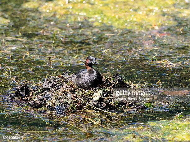 Little Grebe (Tachybaptus ruficollis), incubating a floating nest with eggs,  Pyrenees, France.